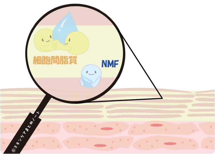 角質層の細胞間脂質とNMF